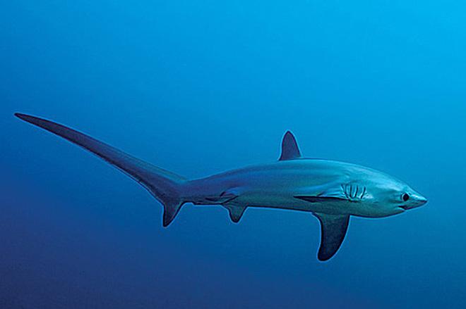 Tiburón 319