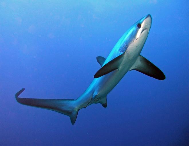 Las especies de tiburones: El tiburón zorro de anteojos